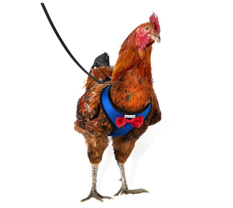 chicken harness 1