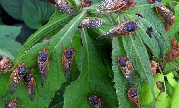 cicada safari 01